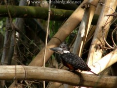Kingfishers of Gambia & Senegal