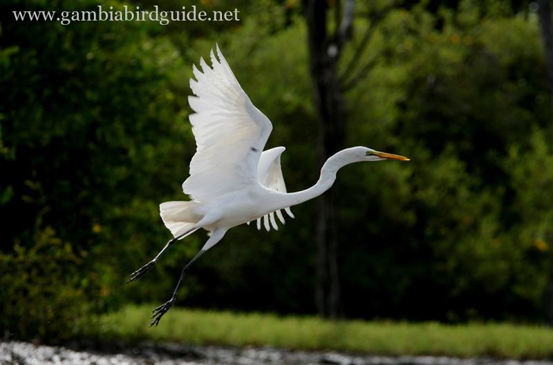 White herring bird - photo#22