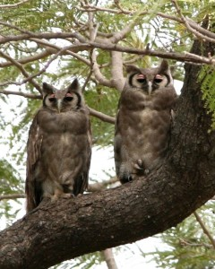 Two Verreauxs Eagle Owls in a Tree