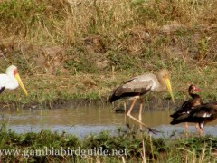 Coastal & Wetland Birds of Gambia
