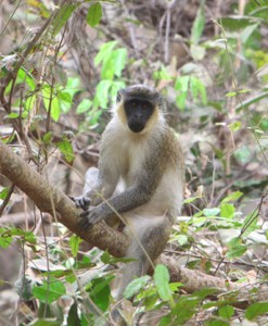 Monkey in Senegal's Jungle